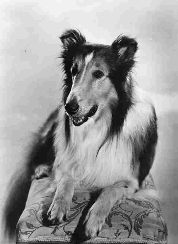 """Fernsehhund """"Lassie"""""""